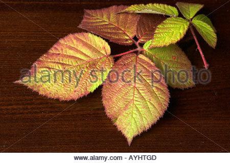 Blackberry leaves on an oak table. - Stock Photo
