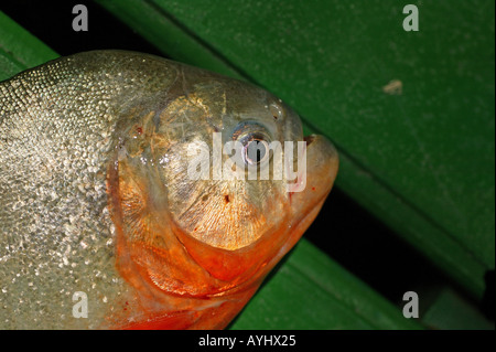 Gefangener Roter Piranha Brasilien - Stock Photo