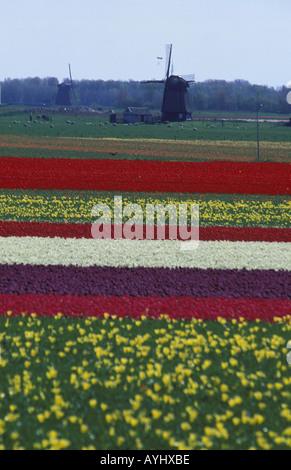 Tulpenanbau in den Niederlanden - Stock Photo