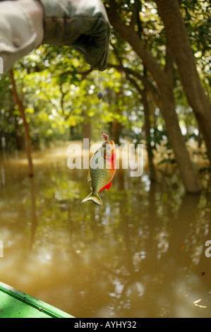 Im Solimes gefangener Roter Piranha am Haken Brasilien - Stock Photo