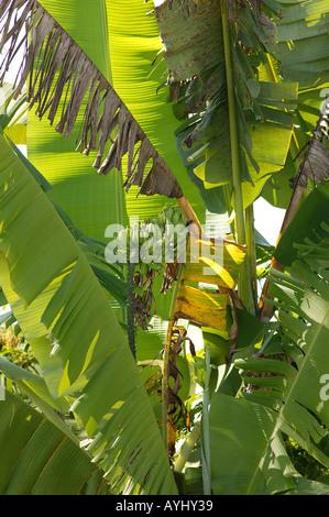 Bananenbaum am Solimes Brasilien - Stock Photo