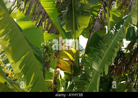 Bananenbaum am Solimes Brasilien - Stock Photo