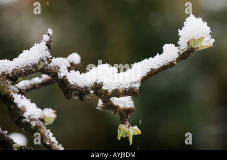 Snow resting on the branches of a budding apple tree. - Stock Photo