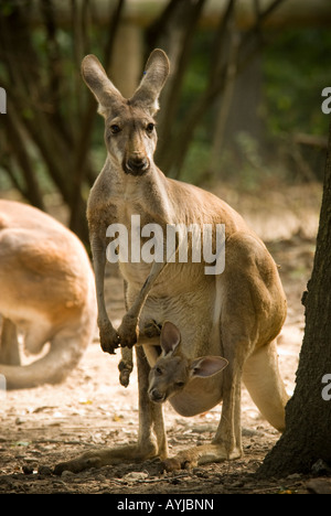 Red Kangaroo mama - Stock Photo