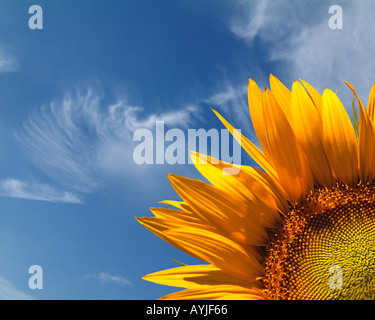 FR - PROVENCE: Sunflower (lat helianthus) - Stock Photo