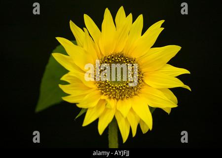 Sunflower -genus Helianthus - Stock Photo