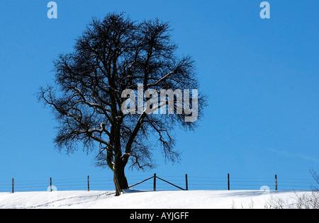 Kahler Baum auf einer Weide im Winter - Stock Photo