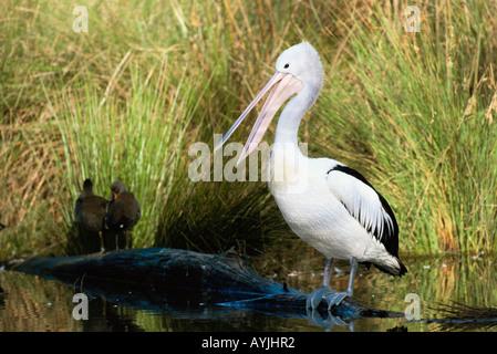 Australian Pelican Pelecanus conspicillatus Photographed in South Australia - Stock Photo