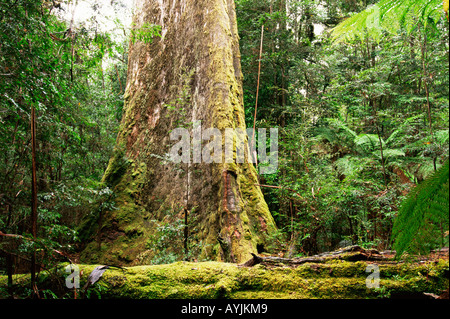 Swamp Gum Eucalyptus regnans Photographed in Tasmania Australia - Stock Photo
