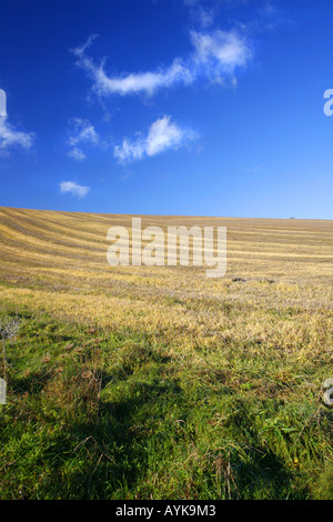 Corn Field on sunny day, Cornwall, England - Stock Photo