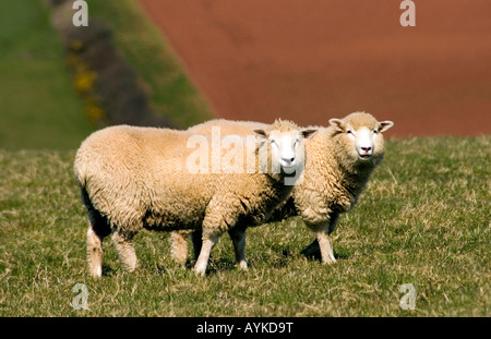 TWO SHEEP 2 LAMBS BREED POLL DORSET PHOTOGRAPHED IN DEVON - Stock Photo