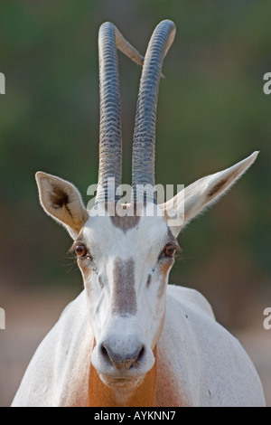 Oryx - Stock Photo