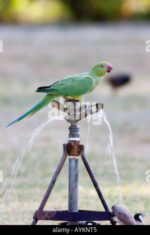 The Rose-ringed Parakeet drinking - Stock Photo