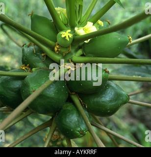 BLOOMS AND FRUIT ON PAPAYA TREE CARICA PAPAYA GEORGIA - Stock Photo