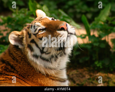 A siberian tiger in captivity, panthera tigris altaica, watches birds flying overhead. Whipsnade Animal Park, UK. - Stock Photo