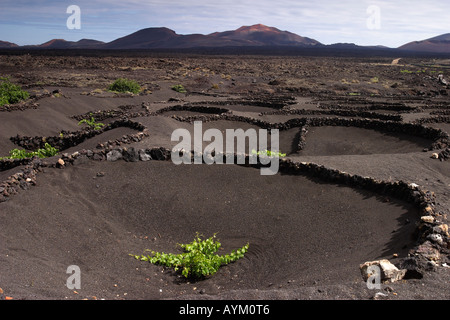 Grape vines grow in black volcanic sand on Lanzarote. - Stock Photo