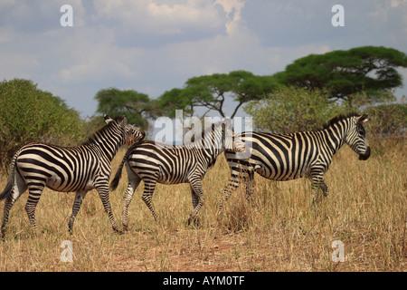 Three zebra walk head to tail in Tarangire National Park, Tanzania. - Stock Photo