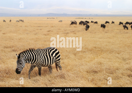 A pregnant zebra crosses the floor of Ngorogoro Crater during the dry season in Tanzania, with Wildebeest in the - Stock Photo