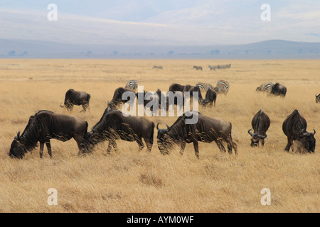 Blue wildebeest graze in herds on the plains of Ngorogoro crater, Tanzania. The crater wall can be seen in the distance. - Stock Photo