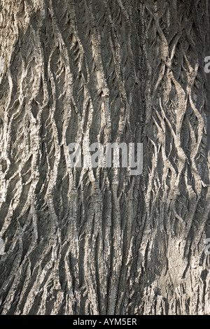 The bole of a hundred-year-old chesnut tree (Castanea sativa). Tronc de châtaignier (Castanea sativa) centenaire. - Stock Photo