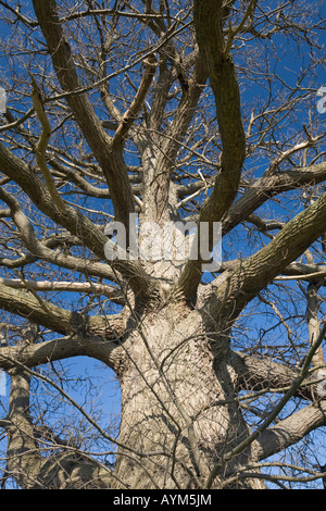 A hundred-year-old chesnut tree (Castanea sativa), in Winter (France). Châtaignier centenaire en hiver (Allier  - Stock Photo