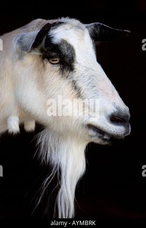 Goat closeup of head - Stock Photo