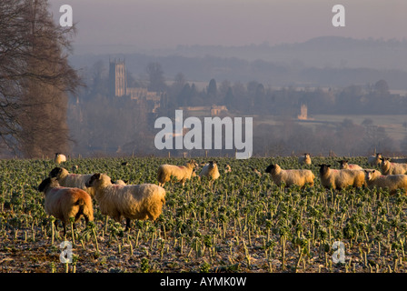 Sheep grazing on brussel stems in a field above Chipping Campden, Gloucestershire, England, UK - Stock Photo