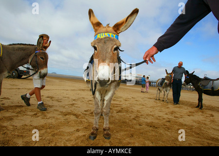 The Weston Super Mare donkeys prepare themselves for the Bank Holiday weekend rush - Stock Photo