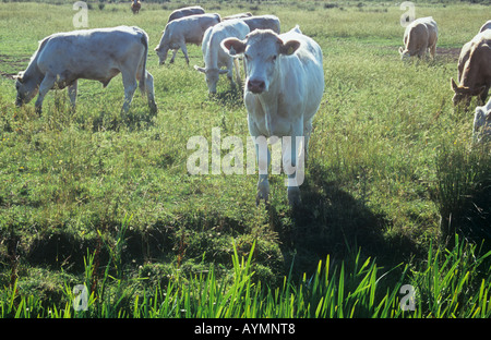 Group of white champagne and pale brown bullocks and heifers in rough pasture edged by reedy ditch backlit by summer - Stock Photo