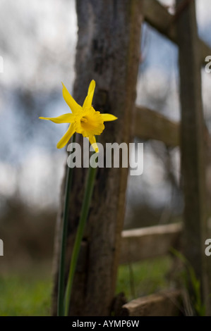 Narcissus Peeping Tom daffodil next to a five bar wooden gate in the English countryside - Stock Photo