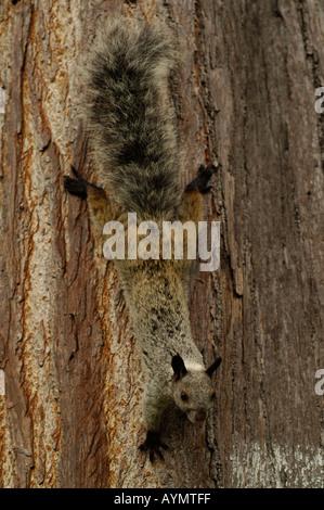 Guayaquil squirrel (Sciurus stramineus) Park Seminario, Guayaquil, Ecuador, South America - Stock Photo