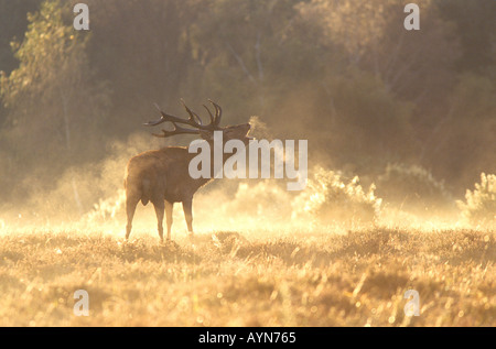 Roaring Red Deer stag in the New Forest - Stock Photo
