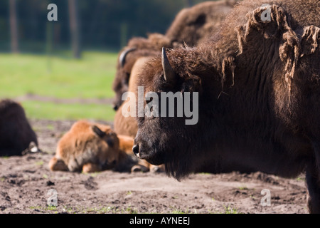 Bison - Bison - Stock Photo