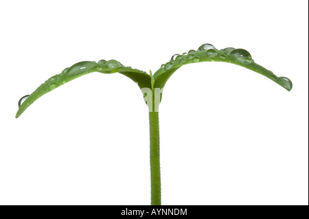 Macro shot of a young plant seedling with water droplets on the leaves Isolated on a white background - Stock Photo