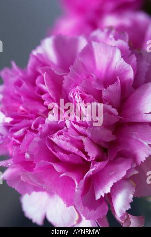 Close-up of peony - Stock Photo