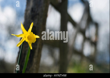 Narcissus Peeping Tom daffodil next to a five bar wooden gate in the English countryside. Evenley wood Gardens, - Stock Photo