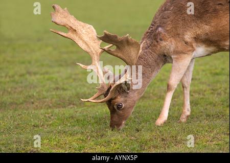 Male Fallow deer dama dama feeding on some green grass