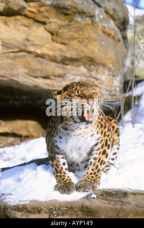 Snarling amur leopard in winter - Stock Photo