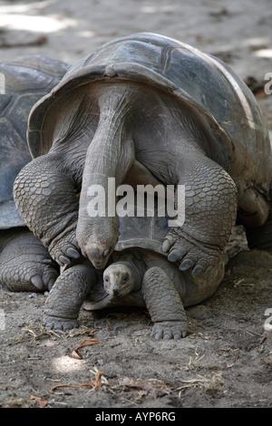 Aldabra Giant Tortoises (Geochelone gigantea) mating, La Digue Island, Seychelles - Stock Photo