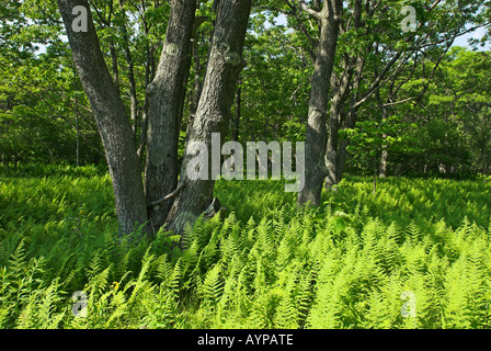 Dolly Sods Wilderness und Scenic Area, West Virginia, USA - Stock Photo