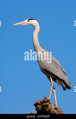 Grey Heron (Ardea cinerea) perched on a pruned Plane or Sycamore tree - Stock Photo