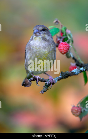 European Greenfinch (Carduelis chloris) perched in a raspberry bush, Schwaebische Alb, Baden-Wuerttemberg, Germany - Stock Photo
