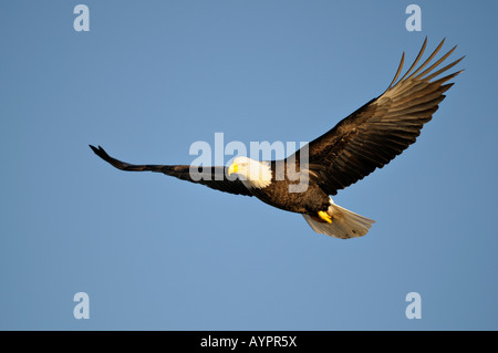 Bald Eagle (Haliaeetus leucocephalus) in flight, Kenai Peninsula, Alaska, USA - Stock Photo
