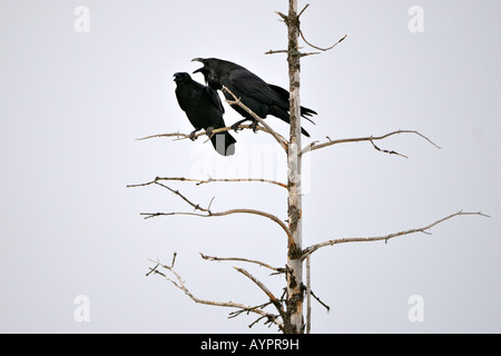 Common - or Northern Ravens (Corvus corax), breeding couple, courtship display, Kenai Peninsula, Alaska, USA - Stock Photo