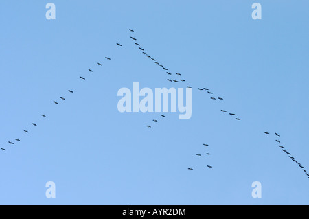 Eurasian Cranes (Grus grus), V-shaped flight formation - Stock Photo
