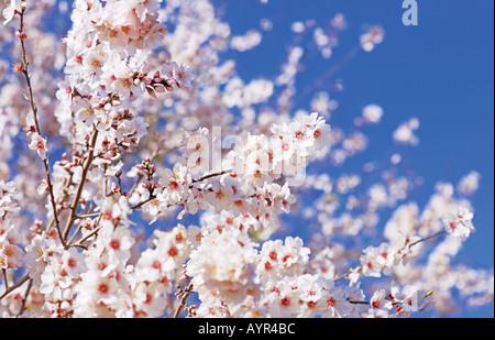Almond tree in blossom, Algarve, Portugal - Stock Photo