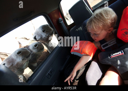 Netherlands Antilles Bonaire donkey sticking their heads through the car window at the donkey sanctuary - Stock Photo