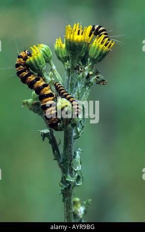 Cinnabar Moth caterpillars (Tyria jacobaeae) on a ragwort (Senecio jacobaea) - Stock Photo