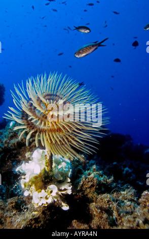 Spiral Tubeworm, Spiral Tube Worm (Spirographis spallanzani), Mediterranean Sea - Stock Photo
