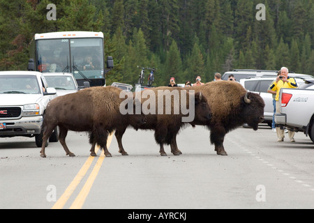 American Buffaloes (Bison bison) standing in the middle of a highway surrounded by tourists and cars, Yellowstone - Stock Photo